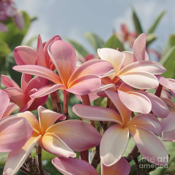 Pink Plumeria Print featuring the photograph Pua Melia Ke Aloha Maui by Sharon Mau