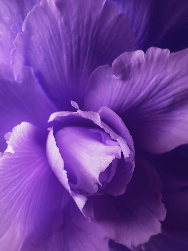 Begonia Print featuring the photograph Purple Begonia Flower by Jennie Marie Schell