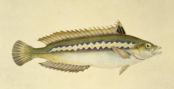 Fish Print featuring the drawing Rainbow Wrasse by E Donovan and FC and J Rivington