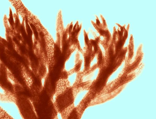 Algae Print featuring the photograph Red Algae, Light Micrograph by Science Photo Library
