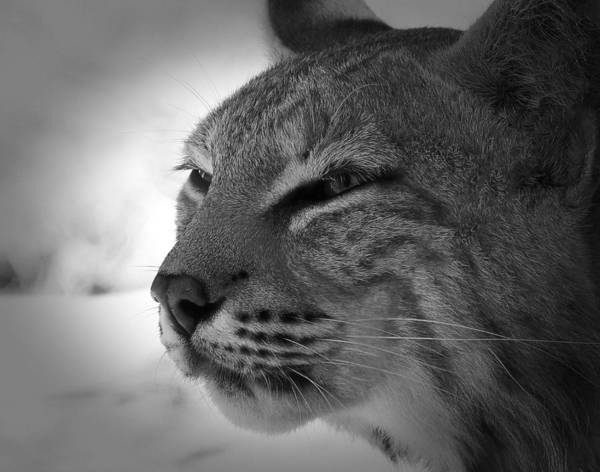 Bobcat Print featuring the photograph Reflecting Bobcat... by Christena Stephens