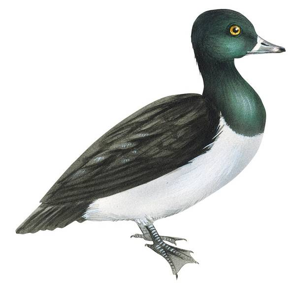 No People; Horizontal; Full Length; White Background; Standing; One Animal; Animal Themes; Illustration And Painting; Ring-necked Duck; Aythya Collaris; Duck; Bird; Aquatic Print featuring the drawing Ring-necked Duck by Anonymous