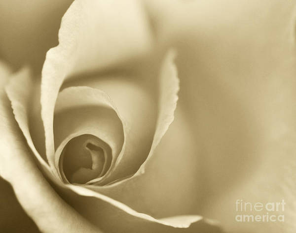 Rose Print featuring the photograph Rose Close Up - Gold by Natalie Kinnear
