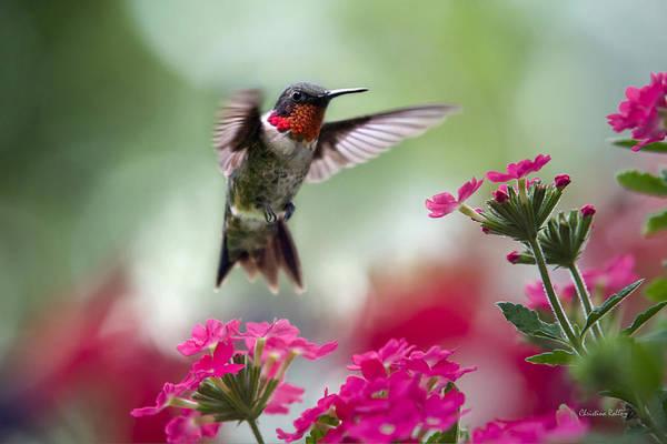 Hummingbird Print featuring the photograph Ruby Garden Jewel by Christina Rollo