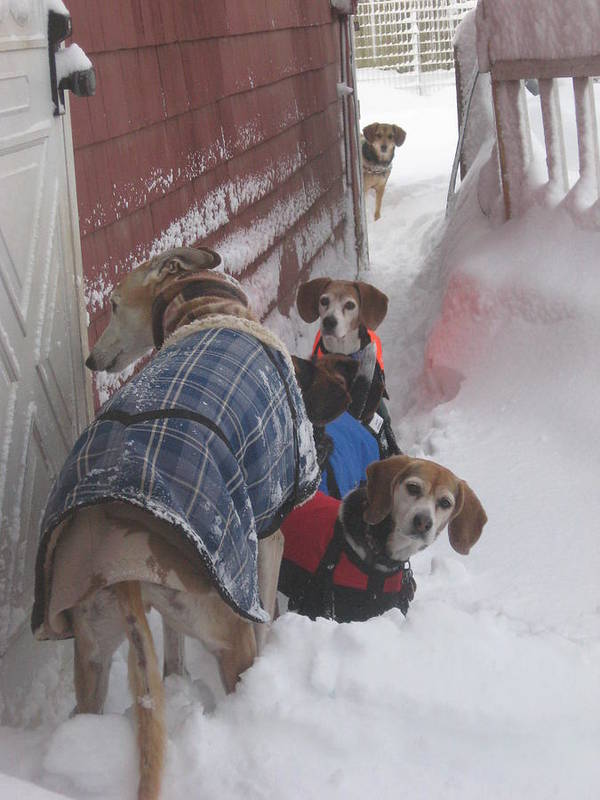 Beagles Print featuring the photograph Snow Angels by Leslie Manley