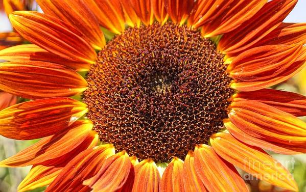 Agriculture Print featuring the photograph Sunflower Burst by Kerri Mortenson