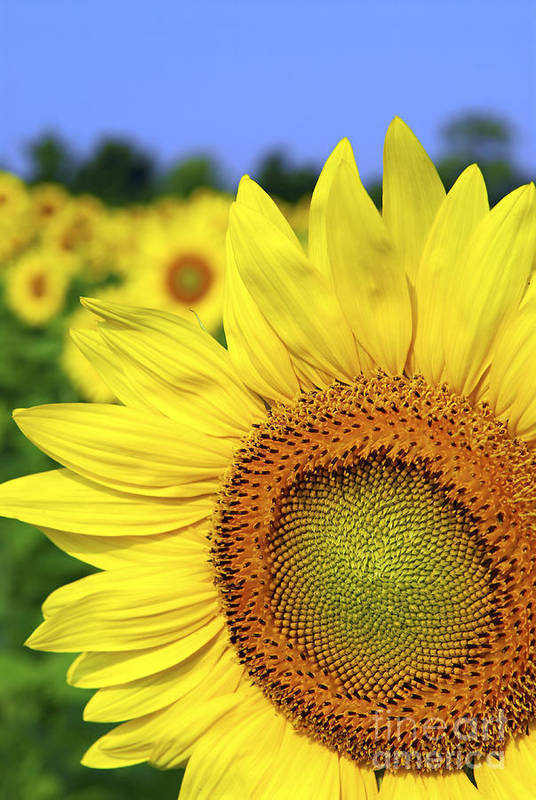 Sunflower Print featuring the photograph Sunflower In Field by Elena Elisseeva