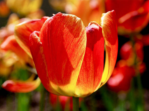 Orange Print featuring the photograph Sunlit Tulips by Rona Black