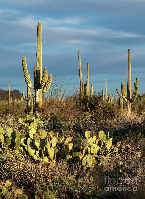 Southwest Print featuring the photograph Sunset On The Saguaros by Sandra Bronstein