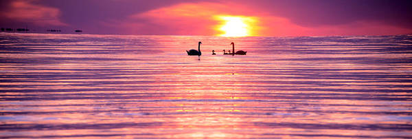 Swans Print featuring the photograph Swans On The Lake by Jon Neidert