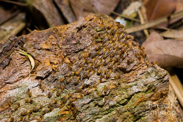 Termite Print featuring the photograph Termites On Log by William H. Mullins