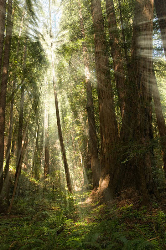 Muir Woods Print featuring the photograph Through The Trees by Mick Burkey