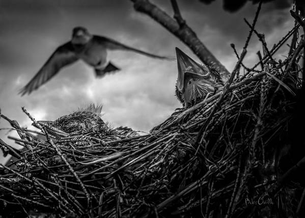 Swallow Print featuring the photograph Tree Swallows In Nest by Bob Orsillo