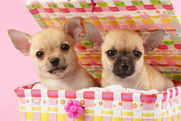 Puppy Print featuring the digital art Two Chihuahuas by Greg Cuddiford