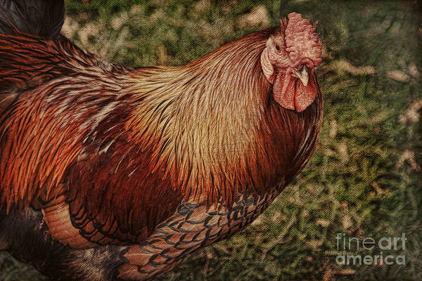 Rooster Print featuring the photograph Vermont Rooster by Deborah Benoit