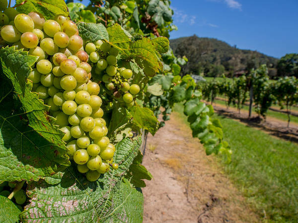 Vineyard Print featuring the photograph Vineyard Grapes by Justin Woodhouse