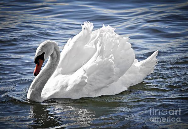 Swan Print featuring the photograph White Swan On Water by Elena Elisseeva