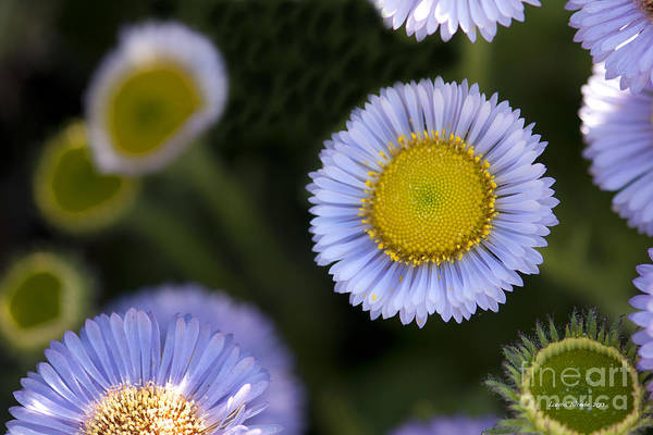 Flowers Print featuring the photograph Yellow In The Middle by Artist and Photographer Laura Wrede