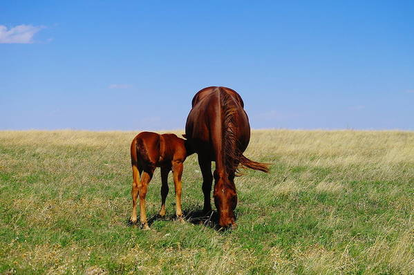 Horses Print featuring the photograph Young Colt And Mother by Jeff Swan