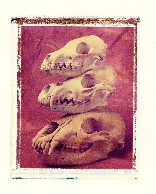 Animal Skulls Fox Wolf Bear Still Life Print featuring the photograph Animal Skulls by Garry Gay