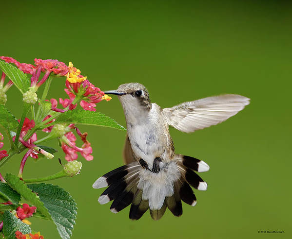 Horizontal Print featuring the photograph Female Hummingbird by DansPhotoArt on flickr