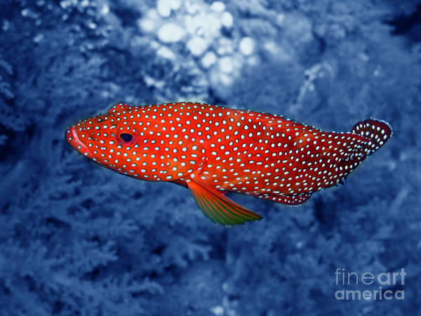 Red Coral Cod Print by Serena Bowles