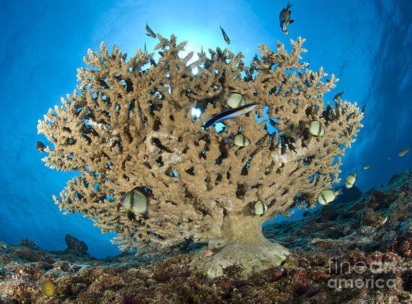 Acropora Hyacinthus Print featuring the photograph Reticulate Humbugs Gather Under Stone by Steve Jones