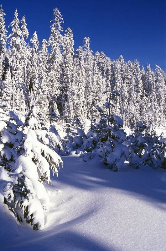 Frost Print featuring the photograph Snow-covered Pine Trees On Mount Hood by Natural Selection Craig Tuttle