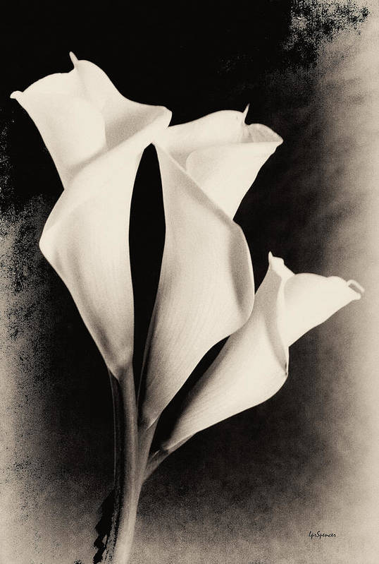Floral Print featuring the photograph Three Calla Lilies by Lisa Spencer