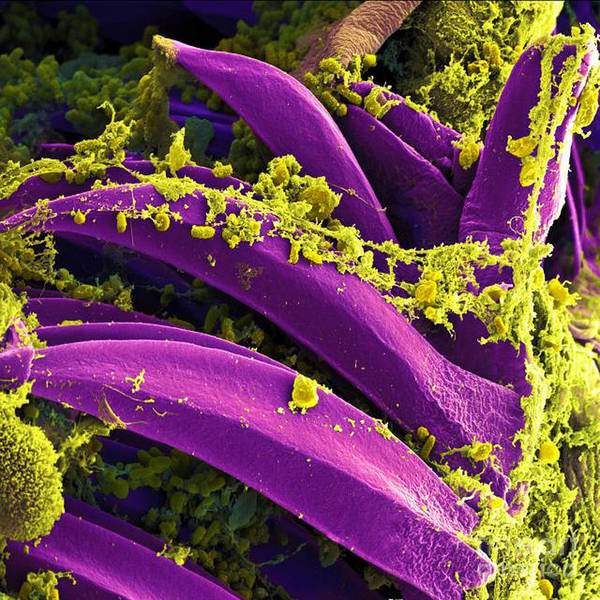 Microbiology Print featuring the photograph Yersinia Pestis Bacteria, Sem by Science Source