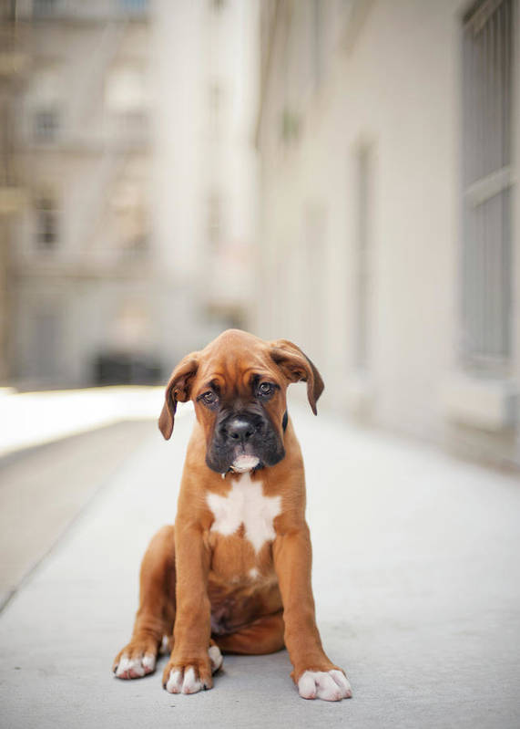 Vertical Print featuring the photograph 2 Month Old Boxer Puppy Standing In Alley by Diyosa Carter