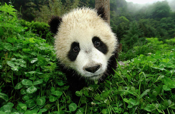 Mp Print featuring the photograph Giant Panda Ailuropoda Melanoleuca by Katherine Feng