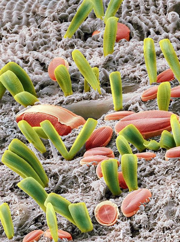 Alga Print featuring the photograph Diatoms, Sem by Steve Gschmeissner