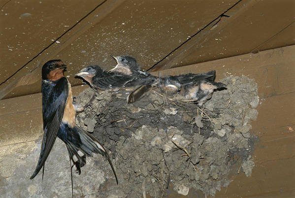 Hirundo Rustica Print featuring the photograph A Barn Swallow Mother Feeds Her Young by Norbert Rosing