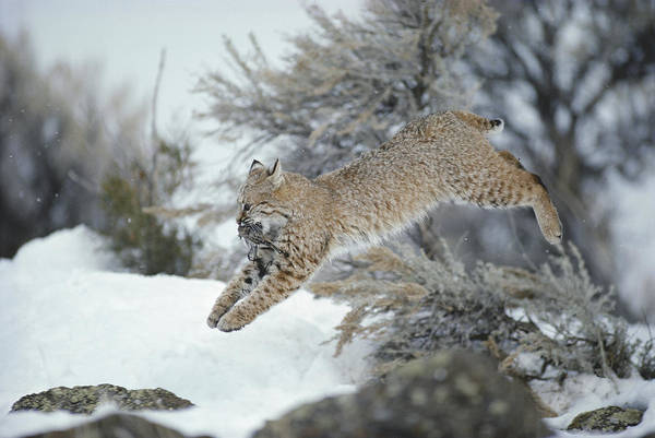 North America Print featuring the photograph A Bobcat Leaps With A Horned Lark by Michael S. Quinton