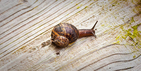 Alone Print featuring the photograph A Snail Sliding Across A Wooden Surface by Tom Gowanlock