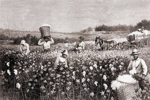 History Print featuring the photograph African Americans Picking Cotton by Everett