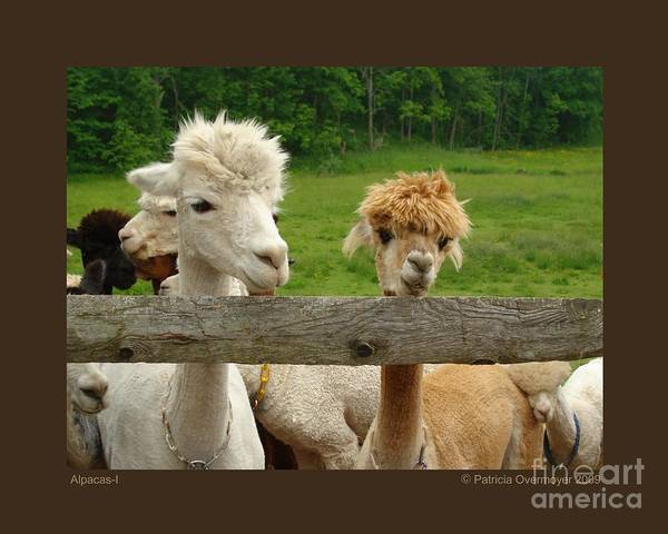 Animals Print featuring the photograph Alpacas-i by Patricia Overmoyer