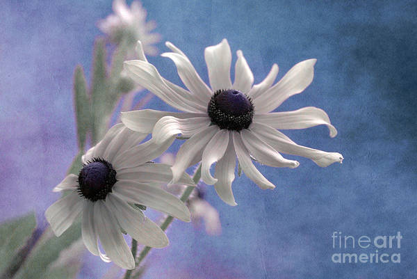 black Eyed Susan Print featuring the photograph Attachement - S09at01 by Variance Collections