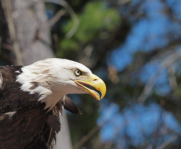 Eagle Print featuring the photograph Bald Eagle At Mclane Center by Peter Gray
