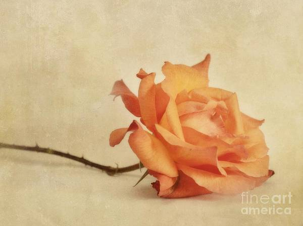 Rose Print featuring the photograph Bellezza by Priska Wettstein
