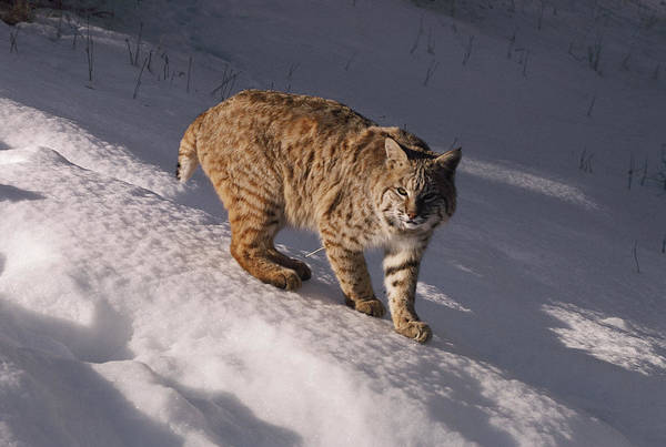 North America Print featuring the photograph Bobcat Felis Rufus Prowls Over The Snow by Dr. Maurice G. Hornocker