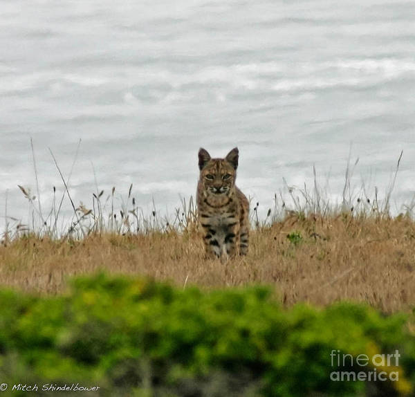 Bobcat Print featuring the photograph Bodega Bay Bobcat by Mitch Shindelbower