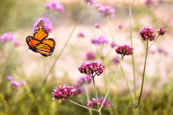 Monarch Print featuring the photograph Butterfly - Monarach - The Sweet Life by Mike Savad