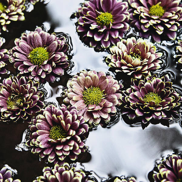 Arranged Print featuring the photograph Chrysanthemum 3 by Skip Nall