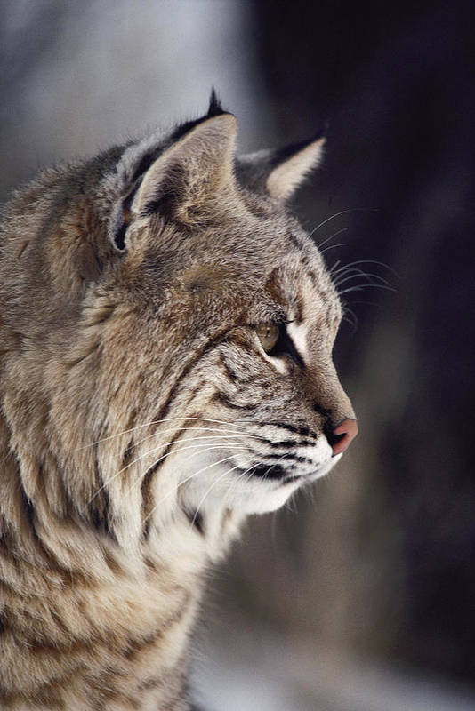 North America Print featuring the photograph Close-up Of A Bobcat Felis Rufus by Dr. Maurice G. Hornocker