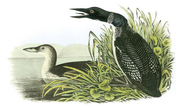 John James Audubon Print featuring the painting Common Loon by John James Audubon