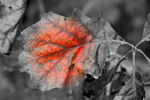 Autumn Print featuring the photograph Fall Leaf by Rick Rauzi
