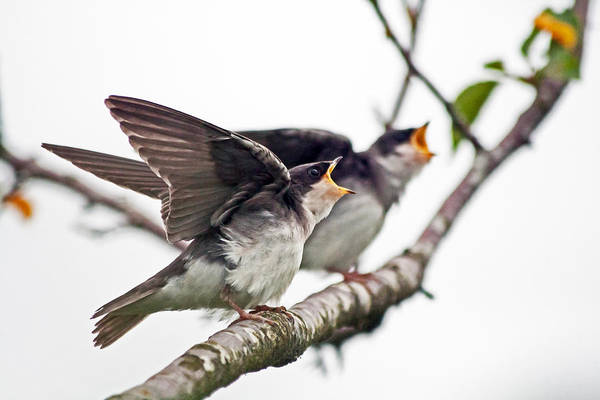 Tree Swallow Chicks Begging For Food Print featuring the photograph Food by Krisztina Harasztosi