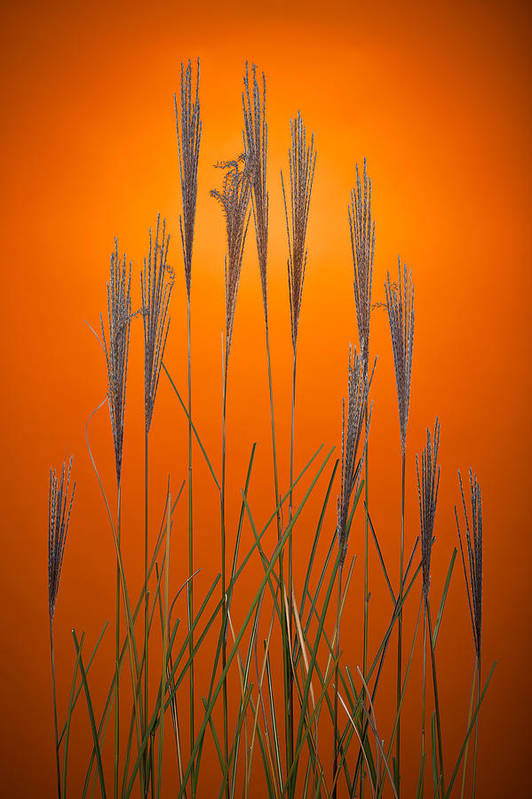Grass Print featuring the photograph Fountain Grass In Orange by Steve Gadomski